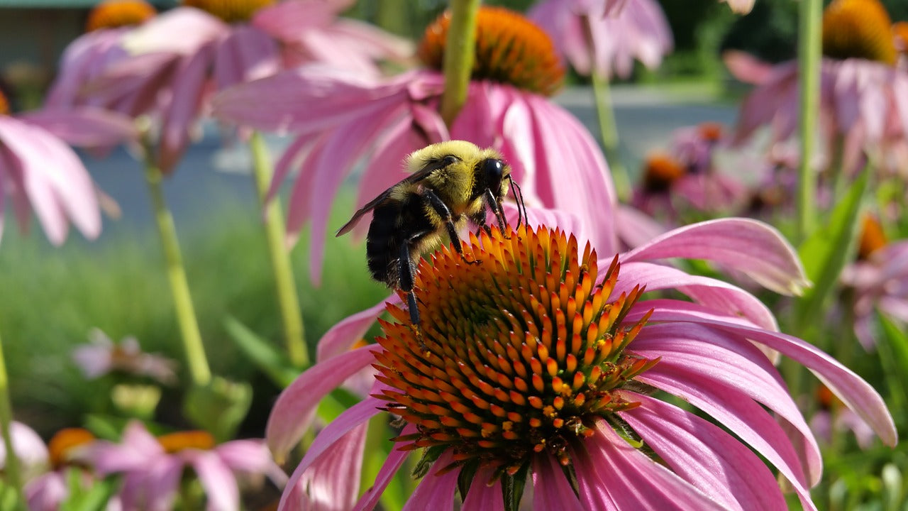 Bee pollinating echinacea flower.
