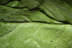 Closeup of a Collard green leaf