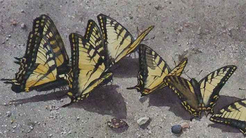 Detail of Sunbathing Swallowtails, watercolour by Karen Richardson