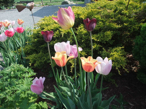 Tulips in Karen Richardson's Garden