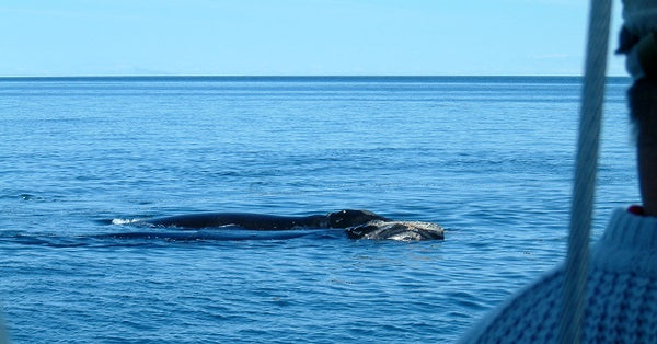 Whales in Bay of Fundy photo by Karen Richardson