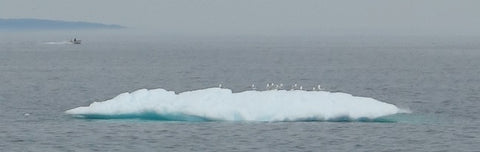 Iceberg and gulls at Hearts Delight NL photo by Karen Richardson