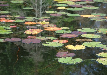Waterlily leaves and reflections on Brownlee Lake, Ontario