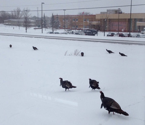 Wild Turkeys visit Karen Richardson's studio