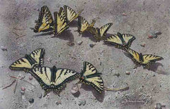 Close up of Sunbathing Swallowtails, showing just the painted portion