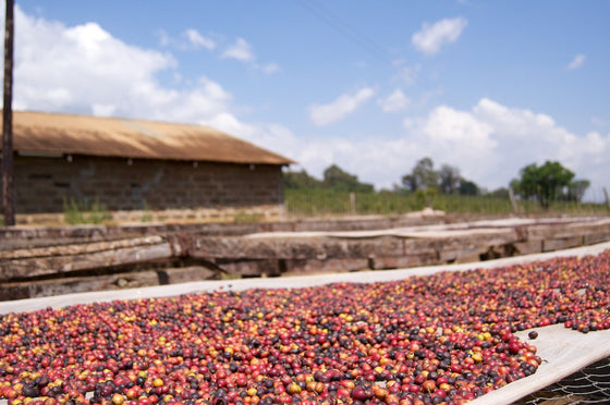 Kenya Light Roast Coffee