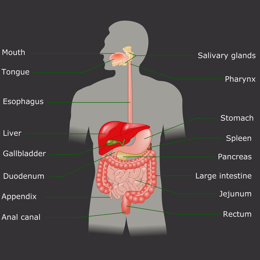 Alimentary Canal Sarcodes