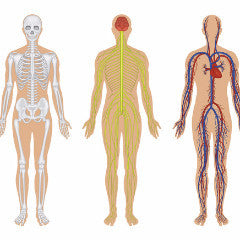 Human Anatomical/Functional Systems