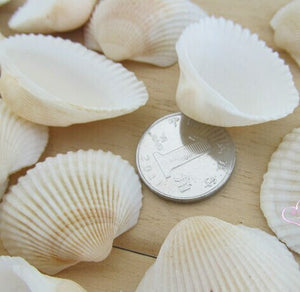 Craft Sea Shell Medium