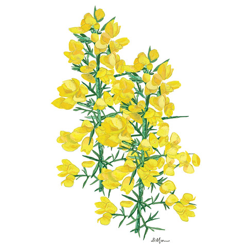 Picture of Gorse