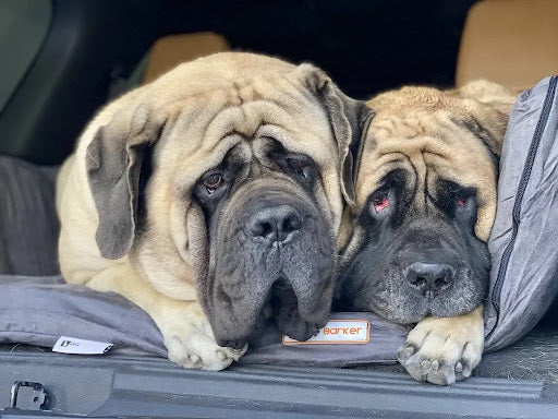 Sulley and Junior on Backseat Barker