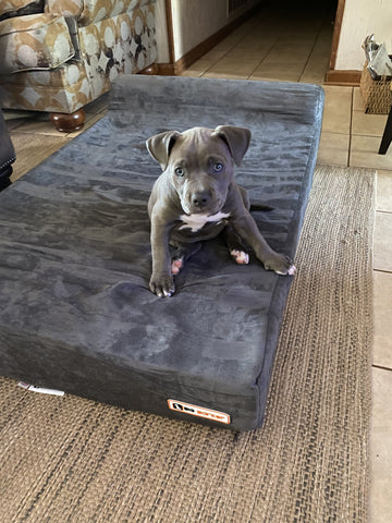 pitbull puppy sitting on Big Barker bed