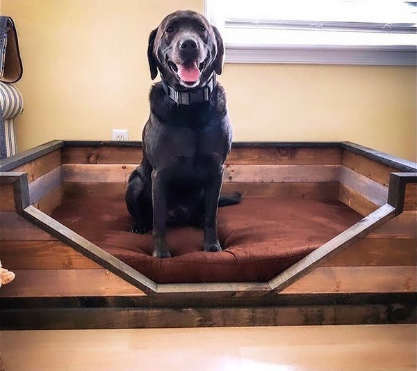 Chocolate Lab on Big Barker Bed with Bed Frame