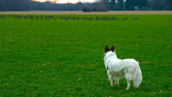 Dog Thinking About Chasing Animals in Field