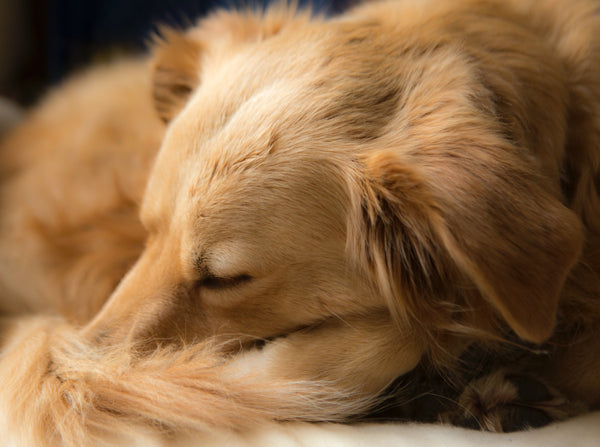 Dog Curled Up and Sleeping