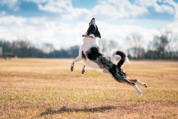 Dog Dancing in the air
