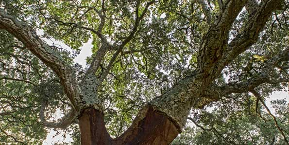 Cork oak evergreen treetop
