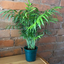 Load image into Gallery viewer, Plant: Bella Palm
