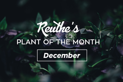 Plant of the Month: December