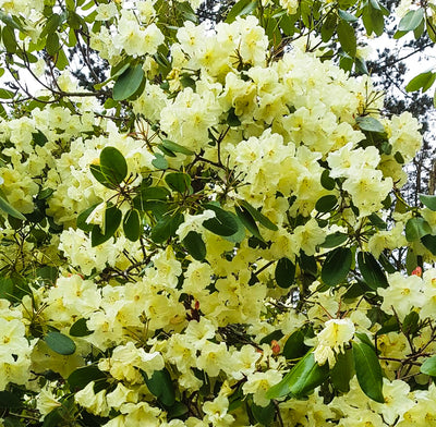 Rhododendron 'Ightham Yellow'