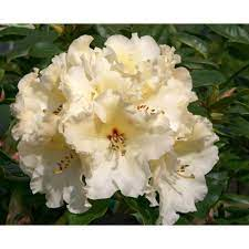 HYBRID RHODODENDRON HORIZON MONARCH - 25 LITRES