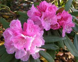 HYBRID RHODODENDRON MISS KITTY - 25 LITRES
