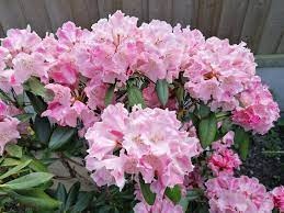 YAK RHODODENDRON MARDI GRAS - 25 LITRES