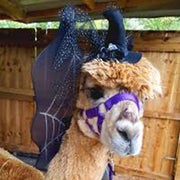 Halloween Halfterm Alpaca Trek Experience (Alpacas and the Alpaca Whisperer will look Spooktakular - join them if you dare!)