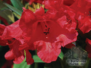 Rhododendron 'May Day'