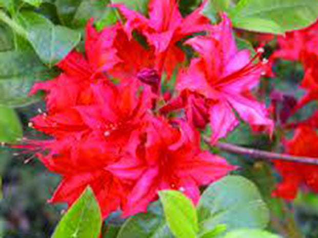 Azalea 'June Fire'