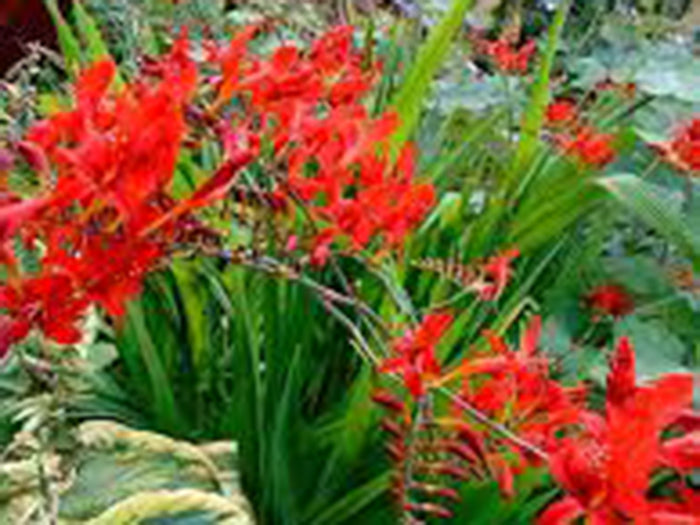 Crocosmia 'Queen of Spain'