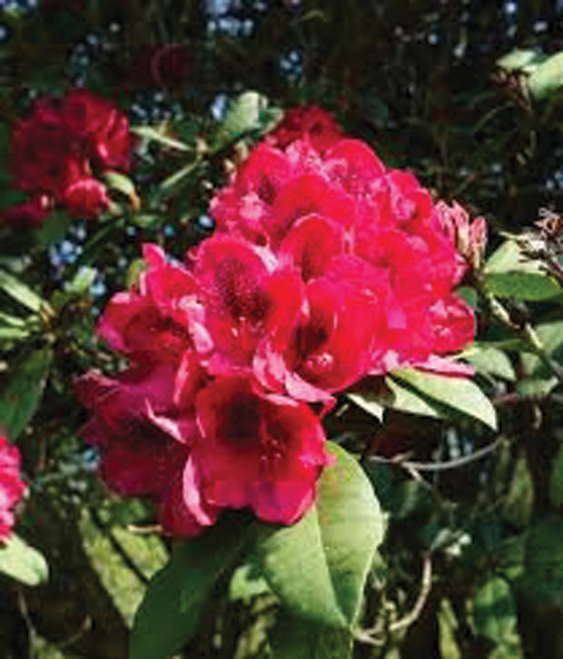 Rhododendron 'Lord Roberts'