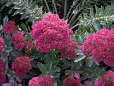 Sedum 'Indian Chief'