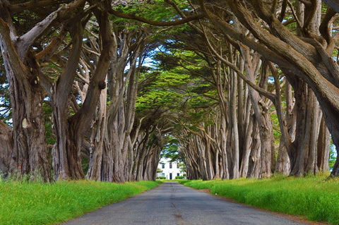 Cypress Tree Tunnel #905