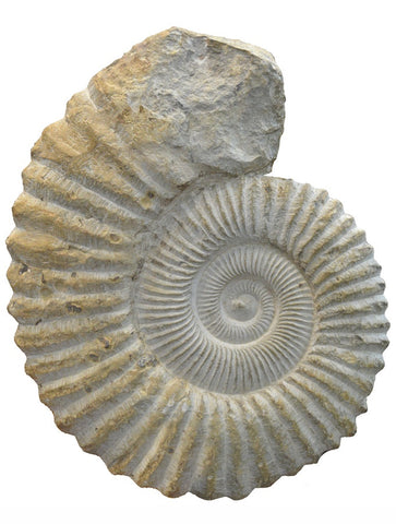 Large Ammonite #611