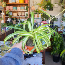 Load image into Gallery viewer, Spider Plant - Chlorophytum comosum