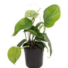 Load image into Gallery viewer, Heart Leaf Philodendron - Philodendron cordatum 120mm pot