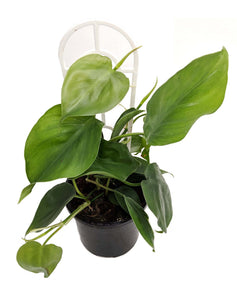 Heart Leaf Philodendron - Philodendron cordatum 120mm pot