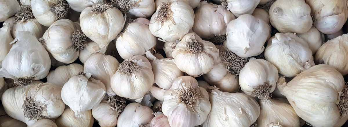 Garlic bulbs for sowing in winter