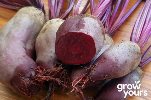 Beetroot Cylindra grown from seeds