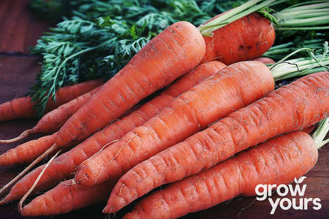 Topweight is a proven variety for growing your own Carrots at home