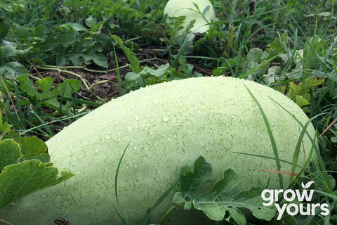 Charleston Grey Watermelon growing on the vine