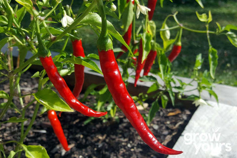Chilli Cayenne peppers on plants in NZ garden