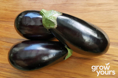 Eggplant, Aubergine 'Black Beauty'