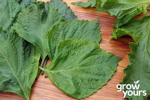 Fresh Green Shiso grown from seeds in New Zealand garden
