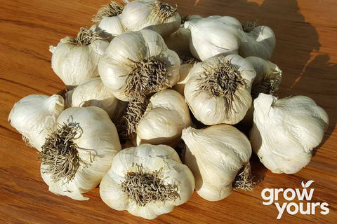 Garlic Printanor bulbs grown in New Zealand