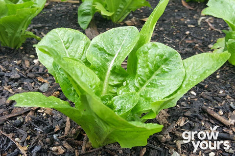 Lettuce 'Little Gem'