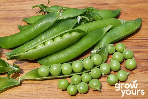 Dwarf Pea WF Massey grown fresh from seeds in the garden NZ
