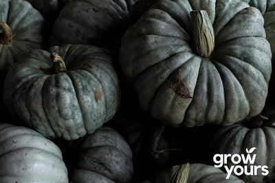 Pile of Pumpkins 'Queensland Blue' - grow your own from seed