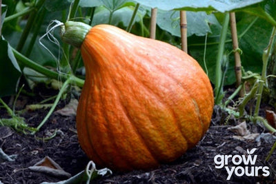 Pumpkin 'Golden Hubbard'